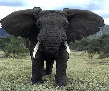 احلى واروع صور الفيل الضخم الجميل فى الشكل